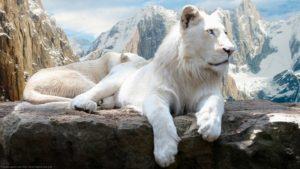 Белый львенок