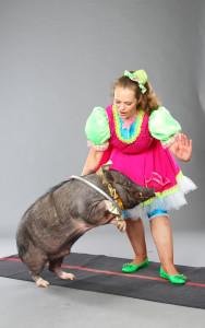 мини-пиги - маленькие домашние свинки