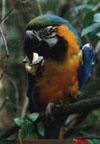 дрессированный попугай Ара 1