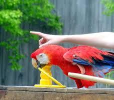 8(965) 380 – 13 – 11. Дрессированный попугай Ара