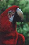 дрессированный попугай Ара
