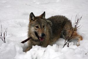 8 (916) 601- 58 -77   фотосессия с волком