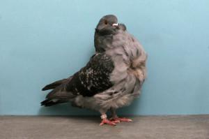 порода китайская чайка