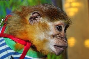 8(965)380-13-11. обезьянка мангобей