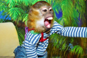 обезьянка мангобей8CsjI