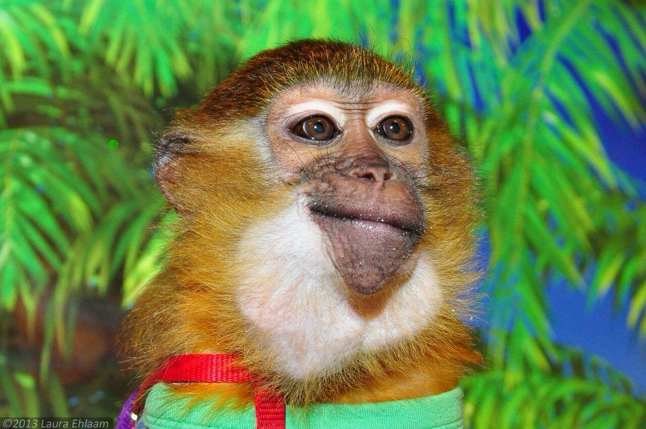 8(965) 380 – 13 - 11цирковая обезьяна