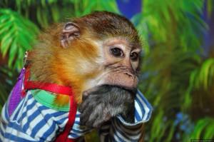 обезьянка мангобейw