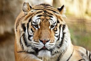 8 (916) 601- 58 -77 Тигр на праздник