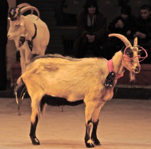 8(916) 601- 58 -77 цирк коз