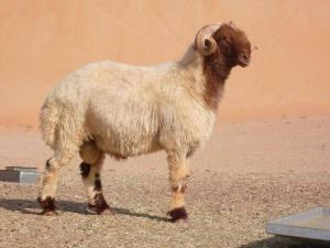 8(965) 380 – 13 - 11. Курдючная овца, баран