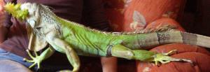 игуана 3
