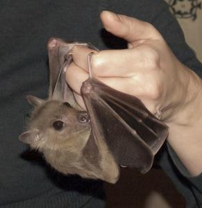 8(965) 380 – 13 – 11. Летучая мышь в доме