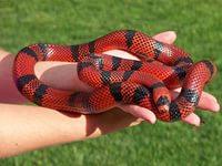 8(965) 380 – 13 – 11. Королевские змеи