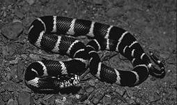 Королевская змея 4