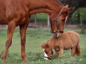8-965-380-13-11 Американская миниатюрная лошадь