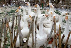 8(965) 380 – 13 - 11 дрессированные гуси