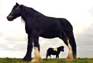 8(965) 380 – 13 – 11. Самые большие лошади