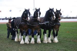 Самые большие лошади
