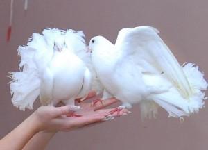 8(965) 380 – 13 – 11 Дрессированные голуби детям