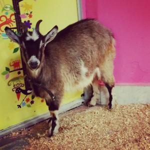 8(965) 380 – 13 – 11 алтайская коза