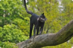 Чёрный бородатый мангобей