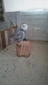 полярн сова1