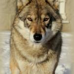 Волк на съемку