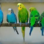 волнистые попугаи - 8(965)380-1311