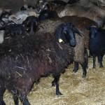 овцыы