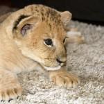 львенок на фотосессию