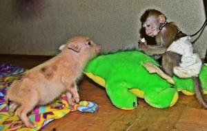 обезьянка и мини-пиги