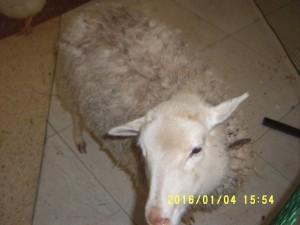 1. овечка