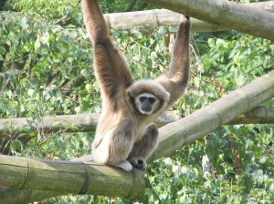Гиббон - поющая обезьяна