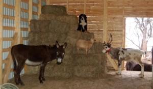 коза карликовая и олень, пони