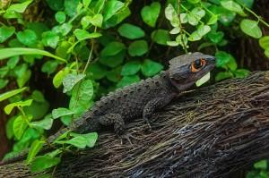 Крокодиловый сцинк (триболонотус)