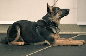 Обучение собаки команде «лежать»