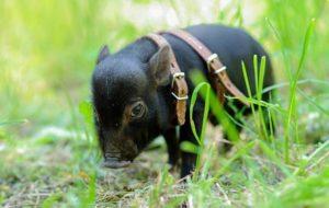 зоопарк свиней