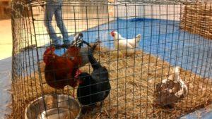 куриный зоопарк