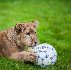 львенок-львеица маленокая