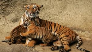 Размножение и разведение тигрят.