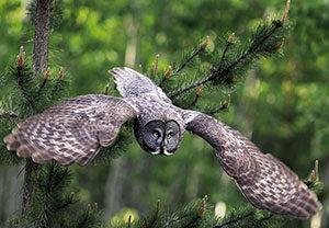 grey_owl