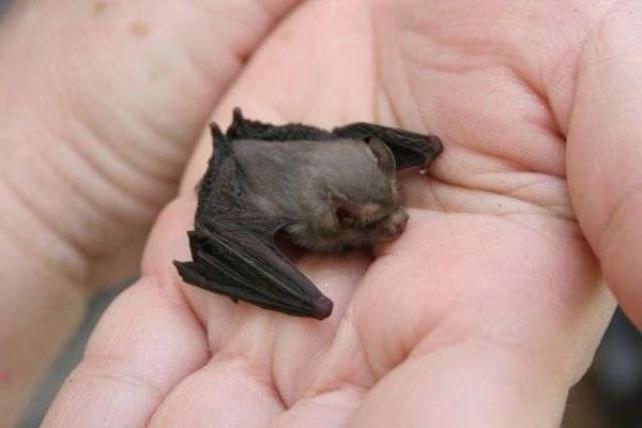 летучие мыши фото маленькие