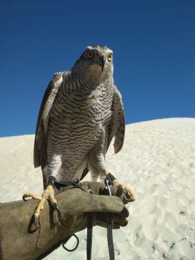 Ястреб: Интересные факты о хищной птице